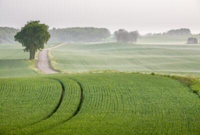 En grön åker med traktorspår. Lite dimma i horisonten.